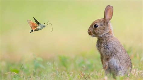 wallpaper rabbit cute animals butterfly  animals