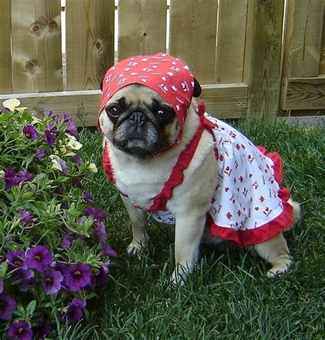 pug club of canada pug photos of pugs images pug canada day wallpaper and background photos 33608189