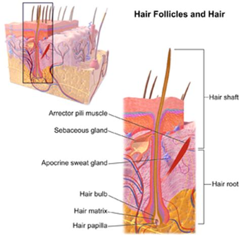 how to strengthen hair follicles in females over 40 hair follicle wikipedia