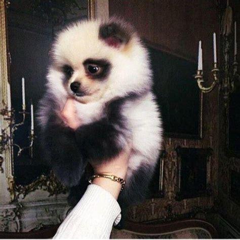 dogs that look like pomeranians this pomeranian looks like a panda so pomeranians and pandas