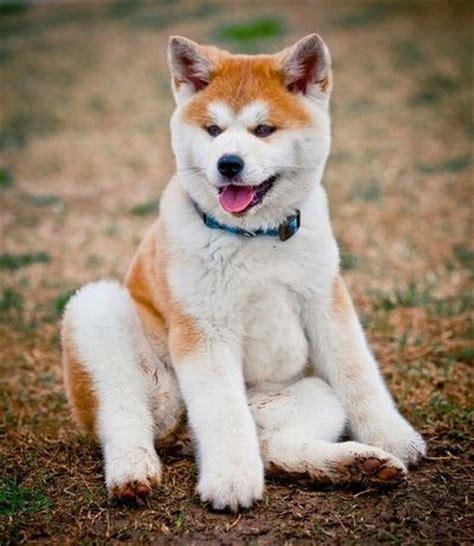 akita inu puppies japanese akita inu info temperament puppies pictures