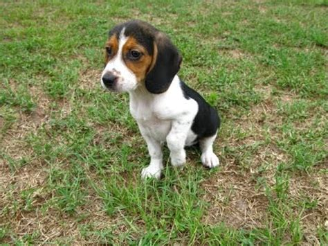 puppies for sale in jackson ms beagle puppies dogs for sale in jackson mississippi ms 19breeders hattiesburg