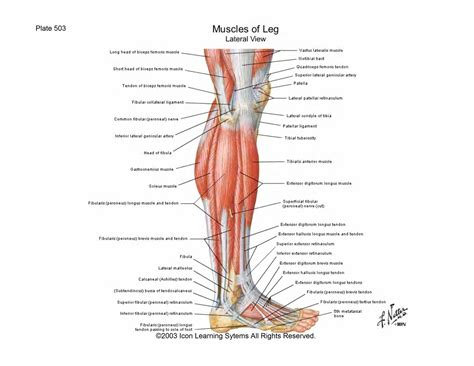 ligaments diagram leg muscles and ligaments diagram images how to guide