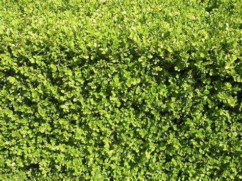 siepi per giardino siepi profumate siepi caratteristiche delle siepi