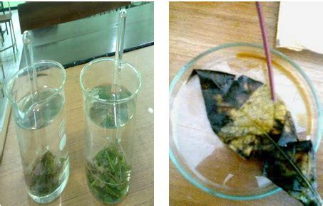 contoh laporan fotosintesis pada tanaman hydrilla dsmlmd blog laporan penelitian percobaan ingenhousz dan