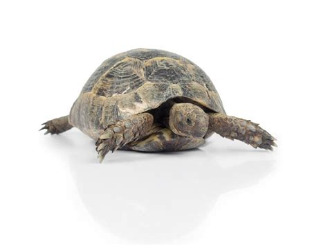 yoruga la tortuga y tortuga de tierra cuidados y curiosidades de este reptil 191 c 243 mo elijo a mi tortuga de tierra