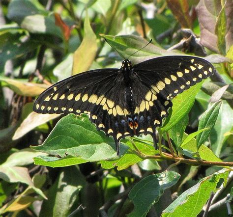 black swallowtail butterfly 17 best images about butterflies eastern black