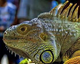 iguana wallpapers fun animals wiki videos pictures