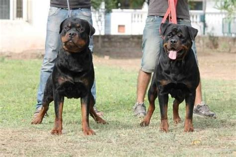 rottweiler india price of rottweiler puppies in india photo