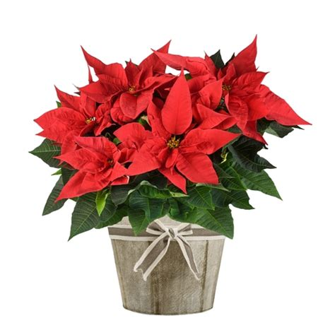 poinsettia poisonous to dogs are cactus poisonous to dogs here s what you must