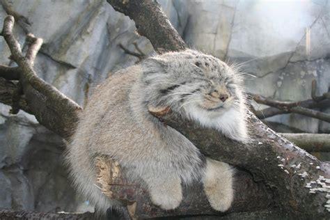 Decke Katze just a tibetan pallas cat chillin on a branch aww