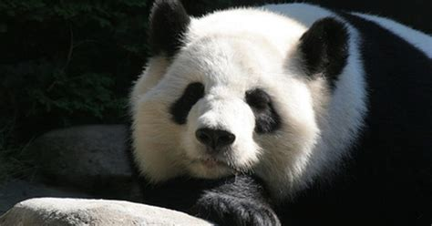 libro panda bear panda bear la cadena alimenticia de los pandas gigantes ehow en espa 241 ol