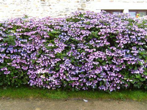 file flowered hedge flowers hydrangea jpg wikimedia commons