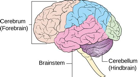 What Are The Four Sections Of The Brain by The Origins Of The Transgender Condition Transgender