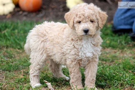 mini labradoodles michigan miniature goldendoodle puppies michigan breeds picture