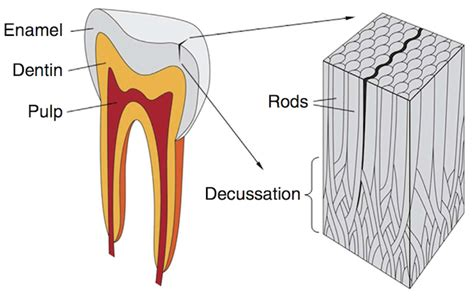 cross section of tooth how to toughen glass by cracking it a lesson from teeth