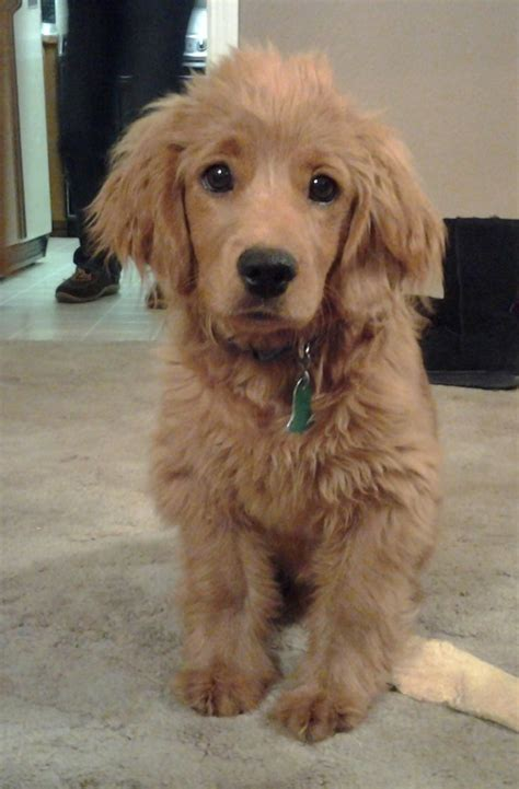 dogs like golden retrievers i need this golden cocker retriever grown it s a puppy that looks like a