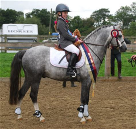section b pony rotherwood signature welsh section b pony and cob stallion
