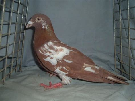 colored homing pigeons for sale pigeon talk