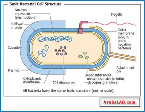 bacterial cell diagram labeled the morphology and structure of bacteria