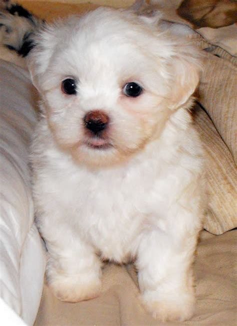 bichon shih tzu poodle mix shih tzu poodle mix grown
