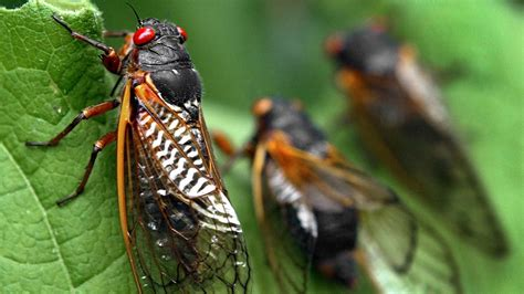 millions of cicadas will emerge above ground after 17 years