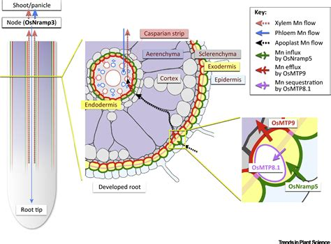 xylem carbohydrates the key to mn homeostasis in plants regulation of mn