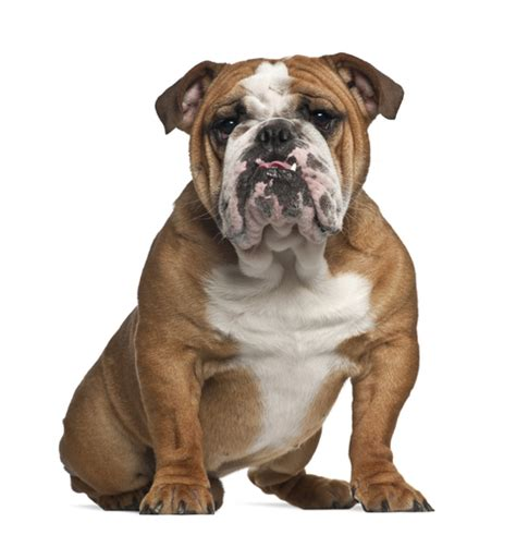 purebred dogs health of purebred dogs vs mutts which dogs are healthier