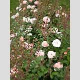 Green Roses Images | 400 x 533 jpeg 91kB