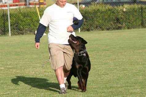 rottweiler schutzhund schutzhund schulte rottweilers