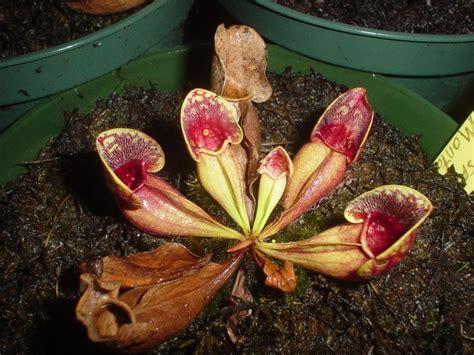 Tanaman Karnivora Drosera Sessilifolia Tanaman Hidup tanaman tanaman karnivora tumbuhan pemakan serangga