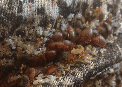 scabies bed bugs updated the silent plagues of children in the rowan