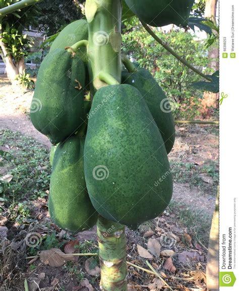 Papaya Garden by Papaya Stock Photo Image 66398253