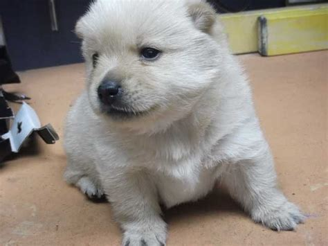 schipperke puppy for sale schipperke for sale or adoption breeds picture