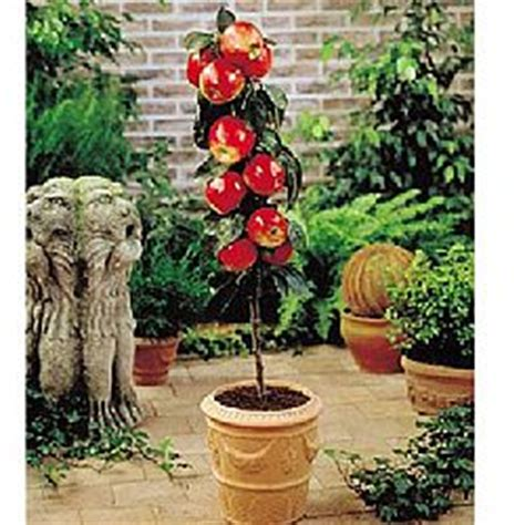 Patio Fruit Plants by Patio Fruit Trees Uk