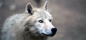 What To Do If Your Dog Goes Blind Game Of Thrones Direwolves Facts And Fantasy