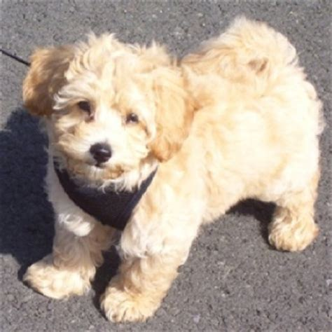 maltese x poodle lifespan 17 best ideas about maltese poodle on maltipoo