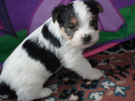 white and yorkie white and black teacup yorkie www pixshark images galleries with a bite