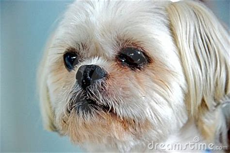 pomeranian for sale ayosdito teacup maltese puppies for adoption lhasa apso maltese poodle cross breeds picture