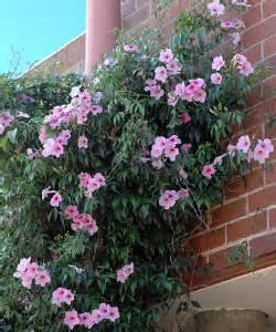 Evergreen Climbing Plants For Screening - pandorea jasminoides growing native plants