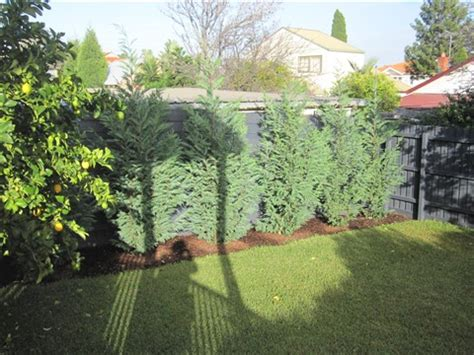 backyard privacy trees evergreen backyards privacy trees backyard backyard