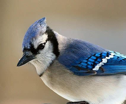 blue jay, identification, all about birds cornell lab of