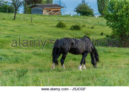 frisian stallion portrait stock photo, royalty free image