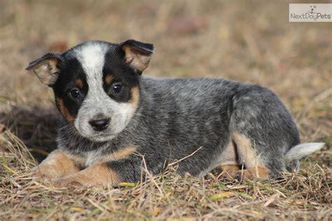 australian cattle blue heeler puppies for sale blue heeler puppies myideasbedroom