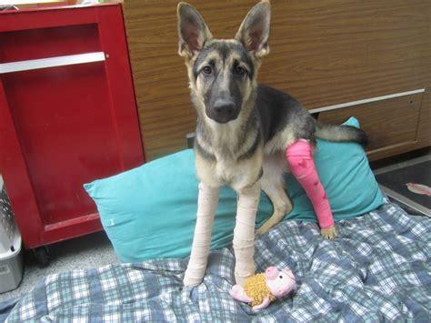 puppy rescue va rescue german shepherd puppies va dogs in our photo