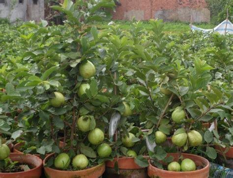 Bibit Sirsak Madu jenis tanaman buah yang bisa ditanam dalam pot