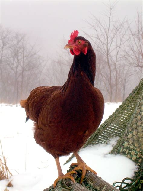 cold weather chickens 8 things not to do to in winter