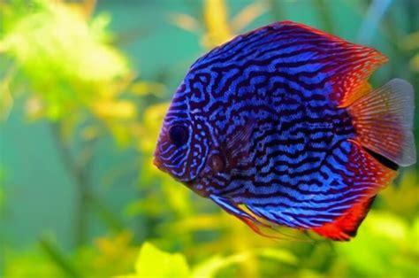 cara membuat aquascape ikan discus inilah jenis dan harga ikan discus termahal yang populer