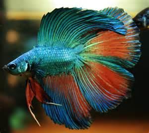 betta fish nice betta