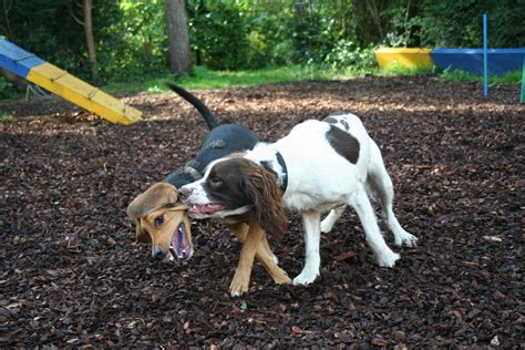 dogs 2 play for free free dogs play fighting 4 stock photo freeimages
